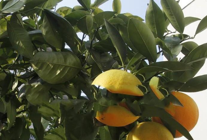 果树树苗 橙子树 橙子苗橙子树苗 无核蜜糖橙