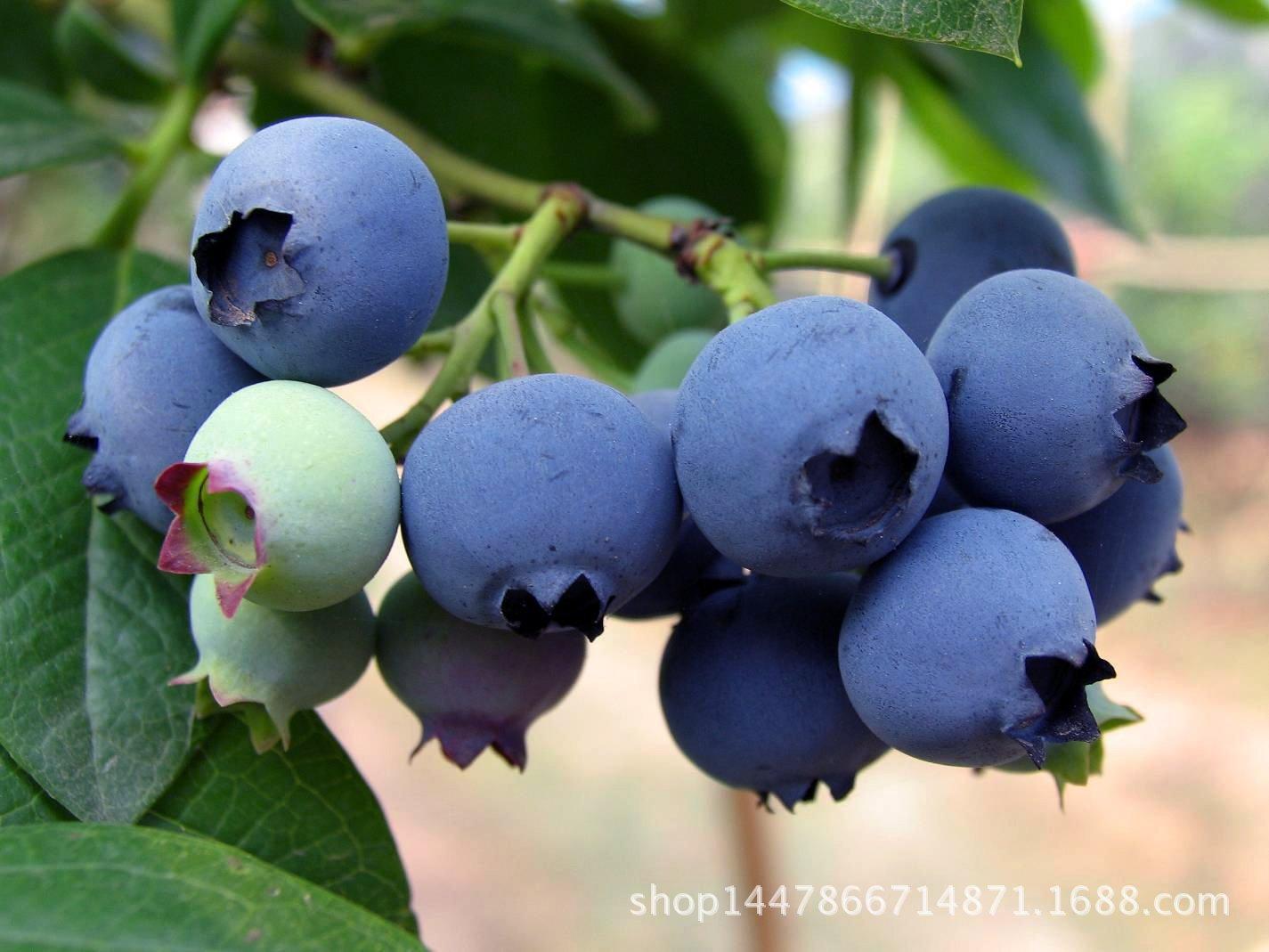 康维尔蓝莓 晚熟蓝莓 蓝莓价格 晚熟蓝莓价格 晚