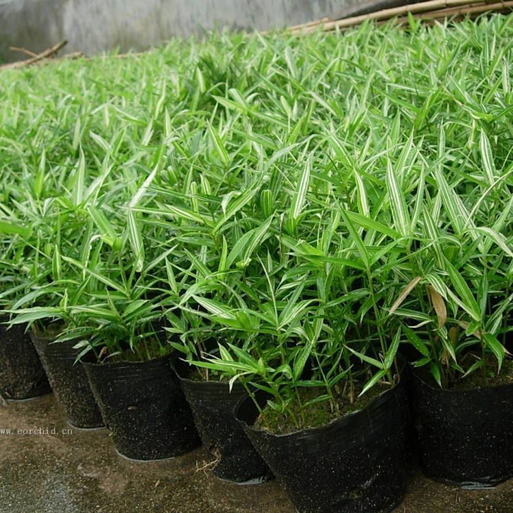 批发矮生地被竹子盆栽菲白竹竹子苗庭院绿化观赏 护坡绿化