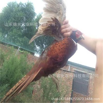 特种价格-上海v价格鸡苗、珍禽野山鸡蕾丝花边山鸡七彩隐形女袜图片